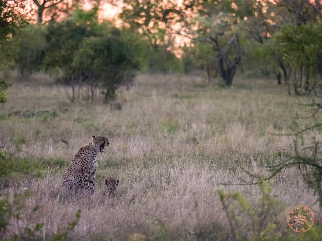 cheetah yawning during sunset drive in kruger national park safari guide