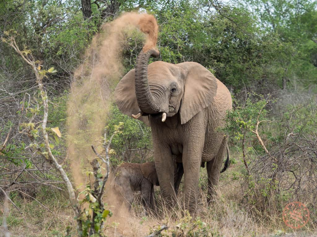 elephant with baby throwing sand up to cool down