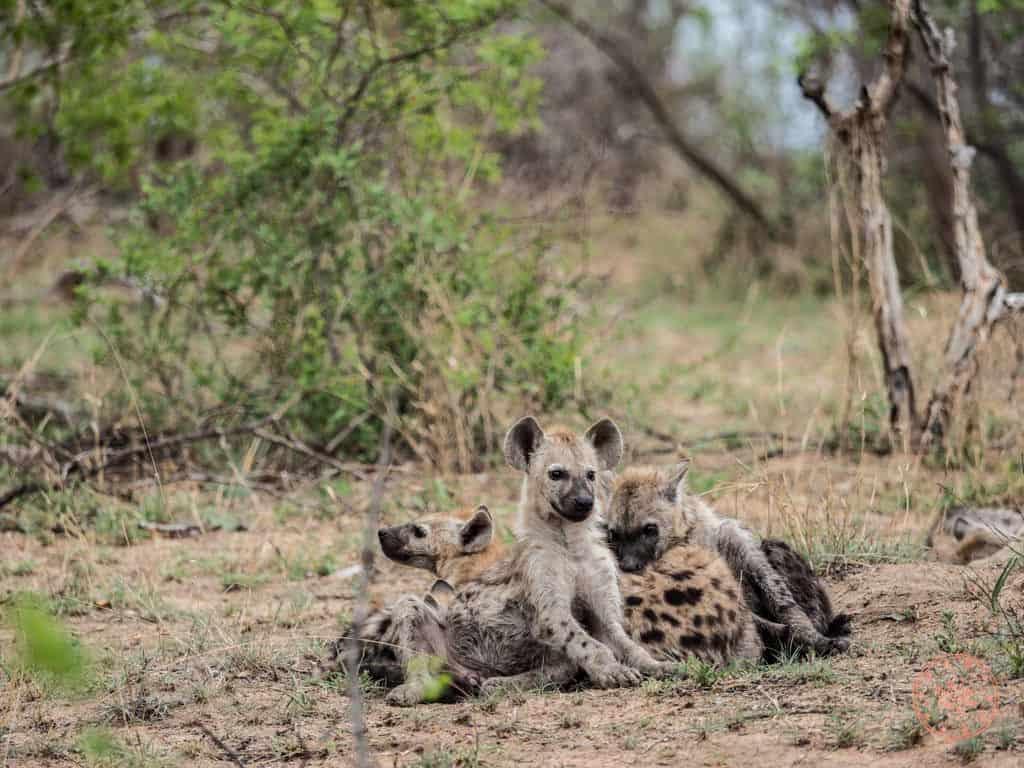 family of hyenas at kruger national park