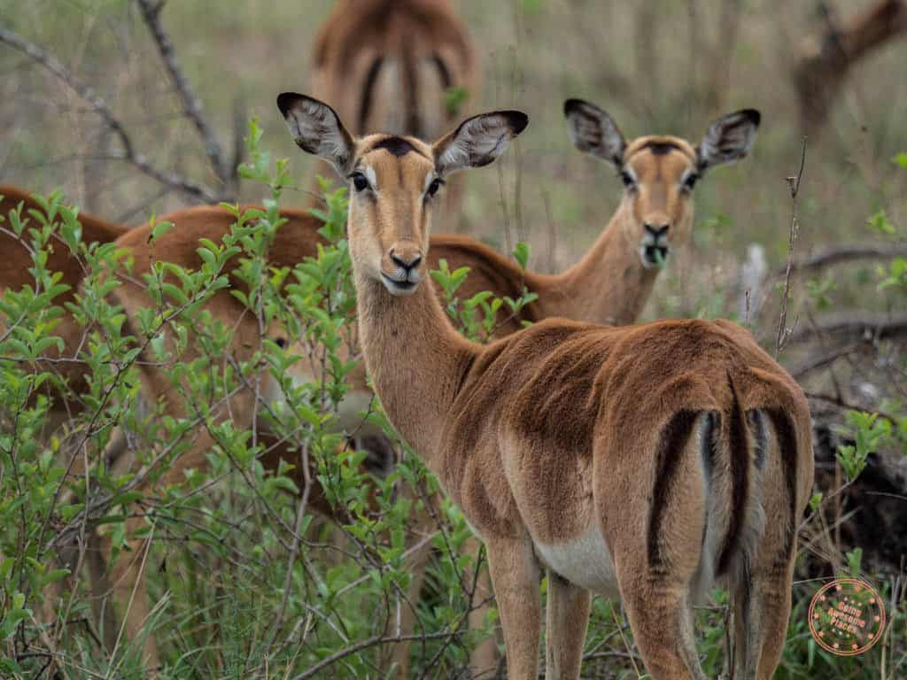 spotting impala during game drive in private game reserve near kruger national park in safari planning guide