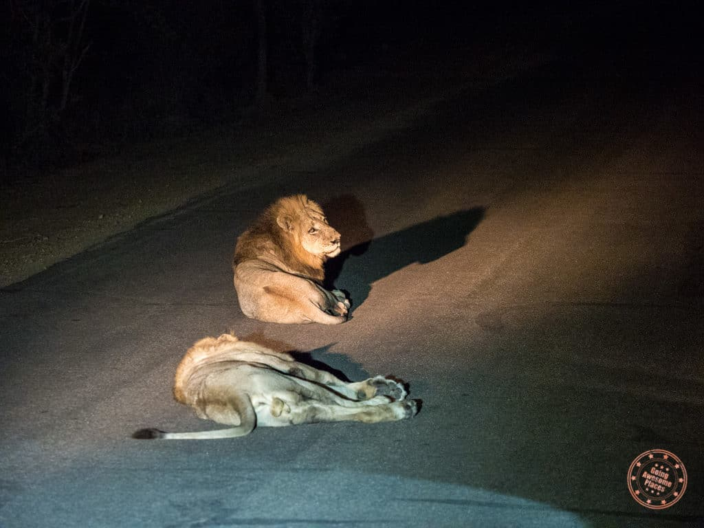 lions on the tar road at night to stay warm during the night drive safari
