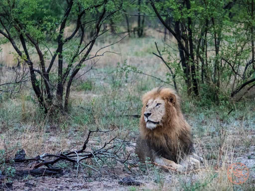 male lion sighting at elephant plains