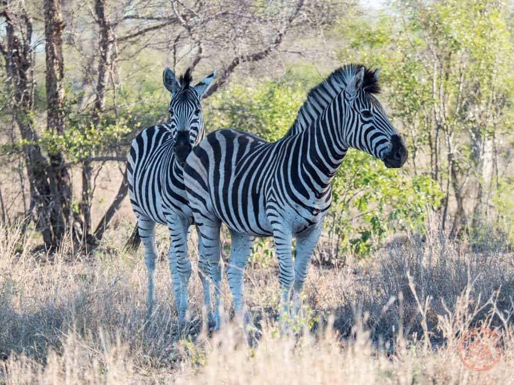 how to plan a safari in south africa with two zebras at kruger national park