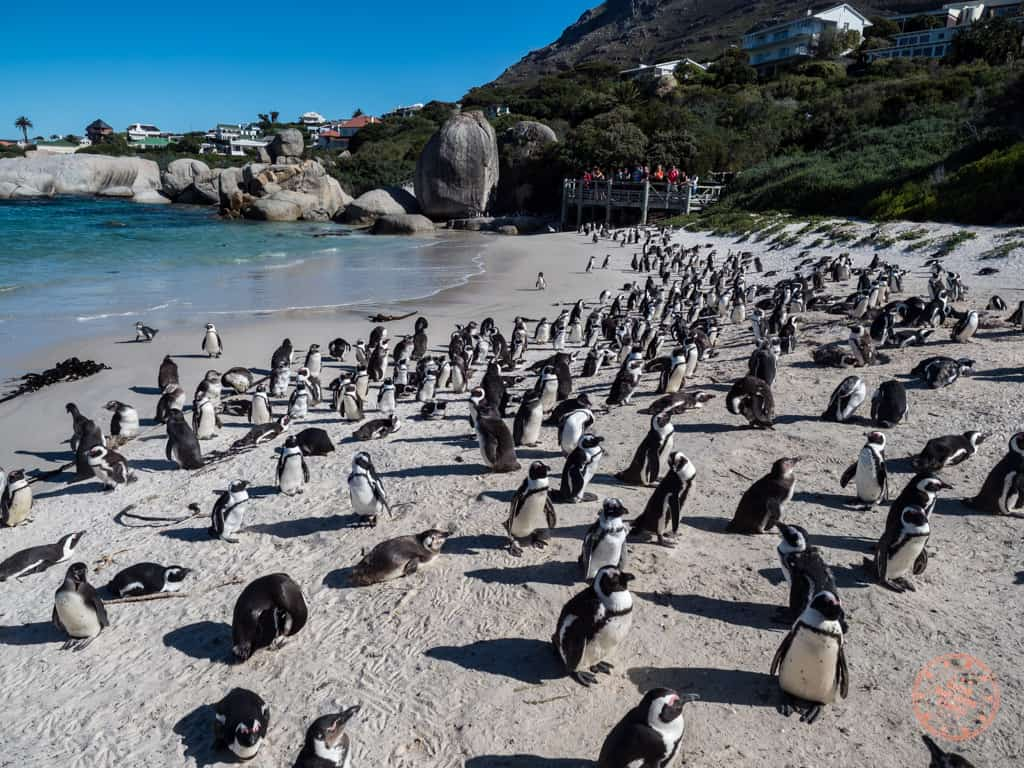 one week cape town itinerary african penguin colony at boulders beach on peninsula route