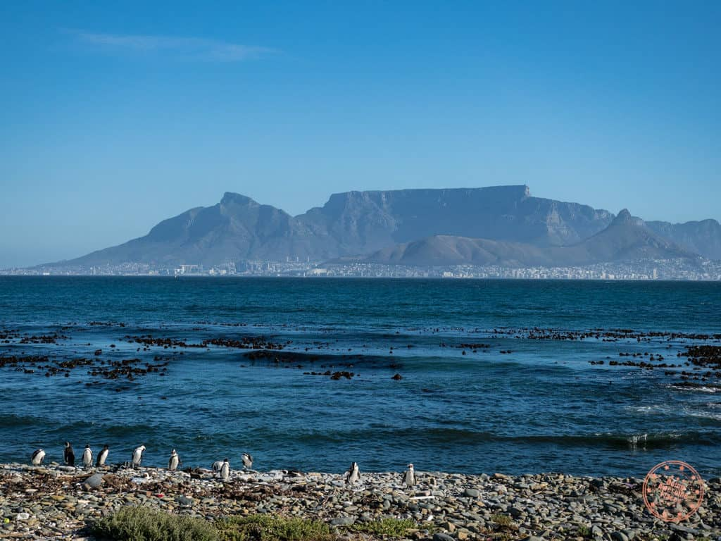 robben island african penguin colony and view of cape town in 1 week itinerary