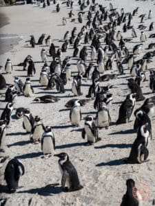 sea of african penguins at boulders beach