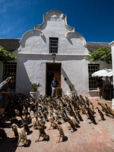 duck parade at vergenoegd