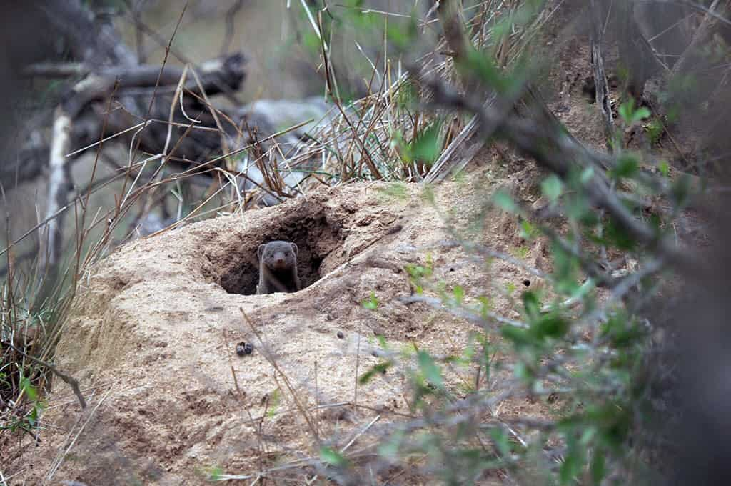 mongoose sighting in kruger national park must do activity in south africa travel tips guide