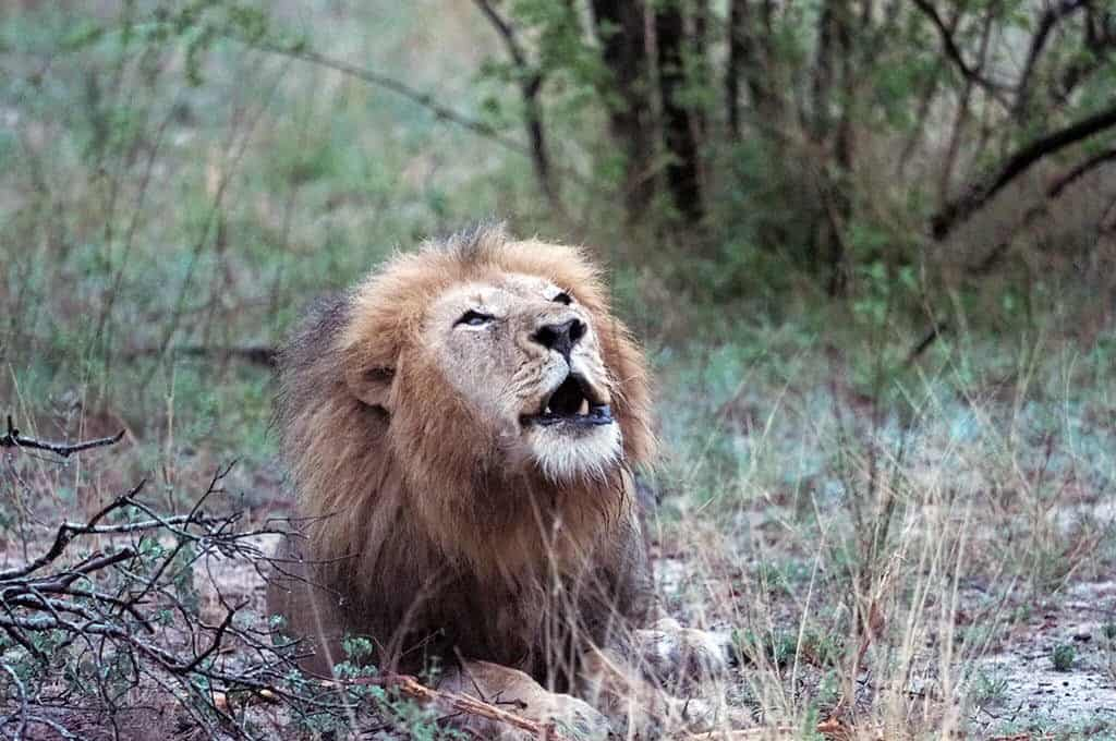 roaring lion at elephant plains game drive in south africa
