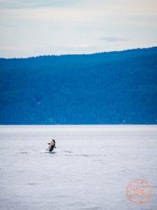 orca whale watching steveston seabreeze adventures