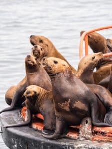 stellar sea lions steveston bc