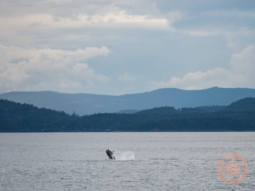 orca sighting with steveston seabreeze adventures whale jumping