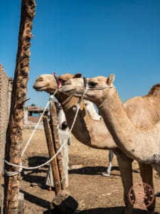 daraw camel market pair in egypt things to do