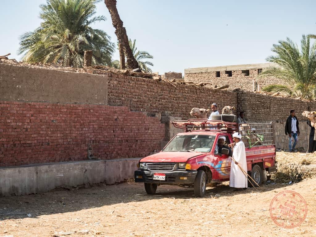 daraw camel market pickup truck transport