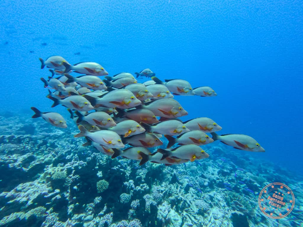 fakarava north pass school of fish