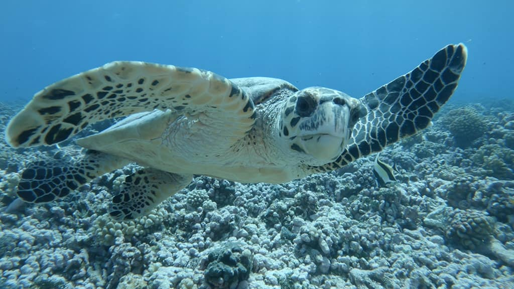 sea turtle diving in rangiroa