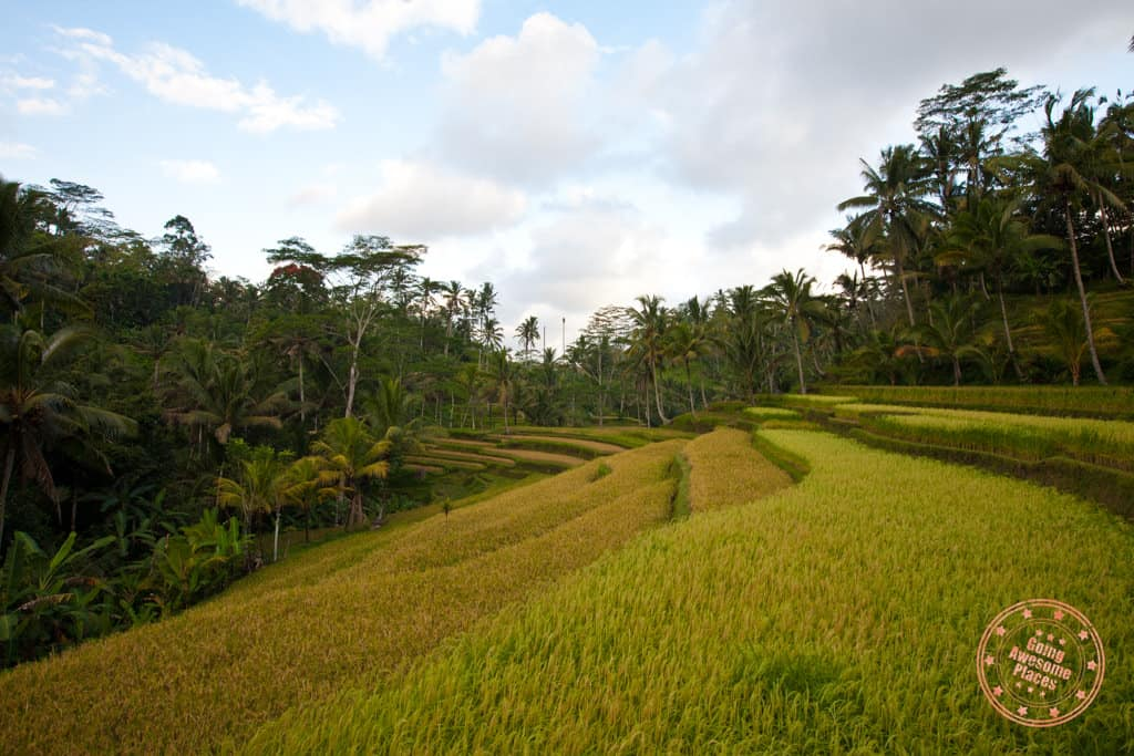 ubud rice fields in top things to do in ubud
