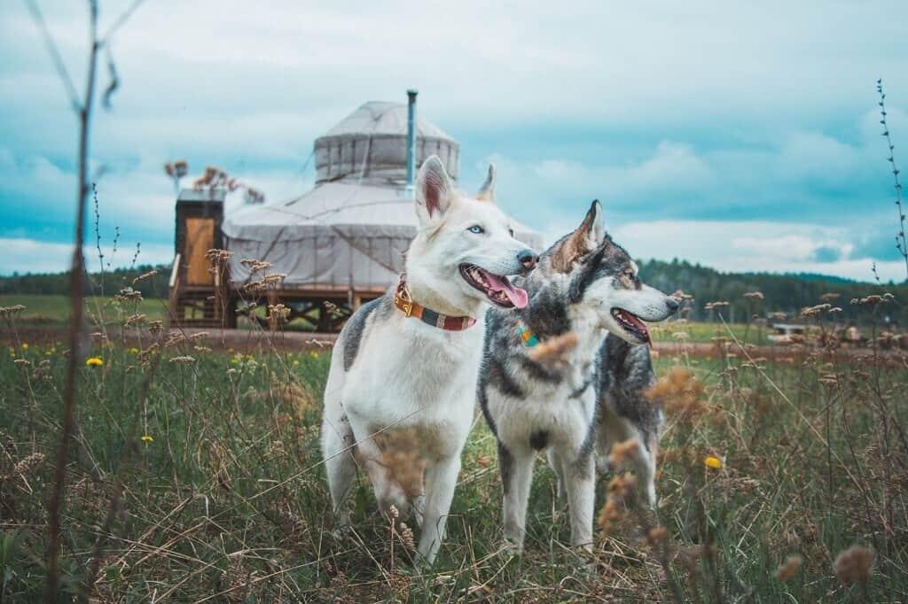 buffalo farm yurt with cute dogs