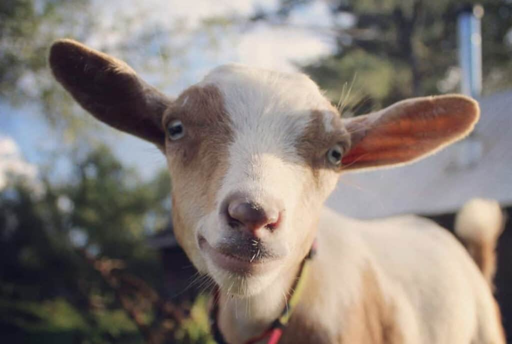 nigerian dwarf goat upclose at sky river meadows