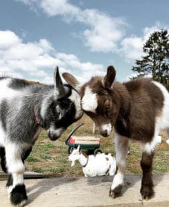 two dwarf goats butting heads
