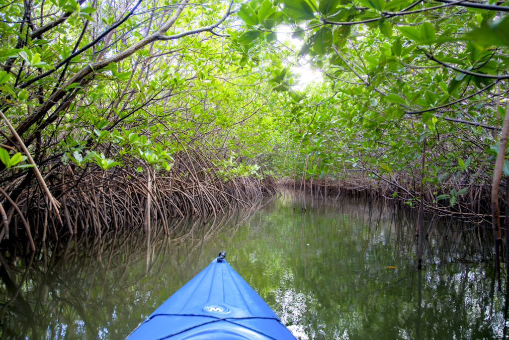 the tip of a kayak floating through the still mangroves water with mangroves hanging over the sides and above head