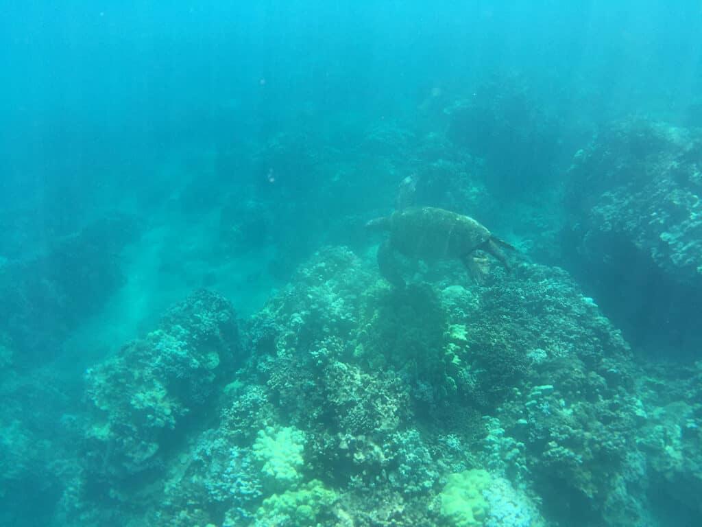 turtle town hawaiian green sea turtle sighting during snorkel cruise