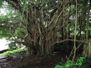 huge banyan tree near rainbow falls