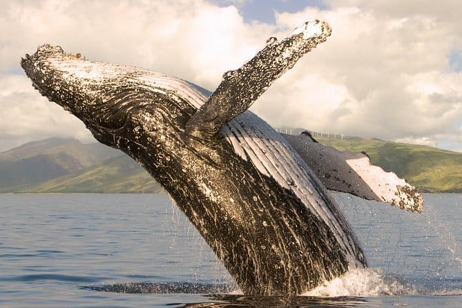 maui whale watching from lahaina excursion