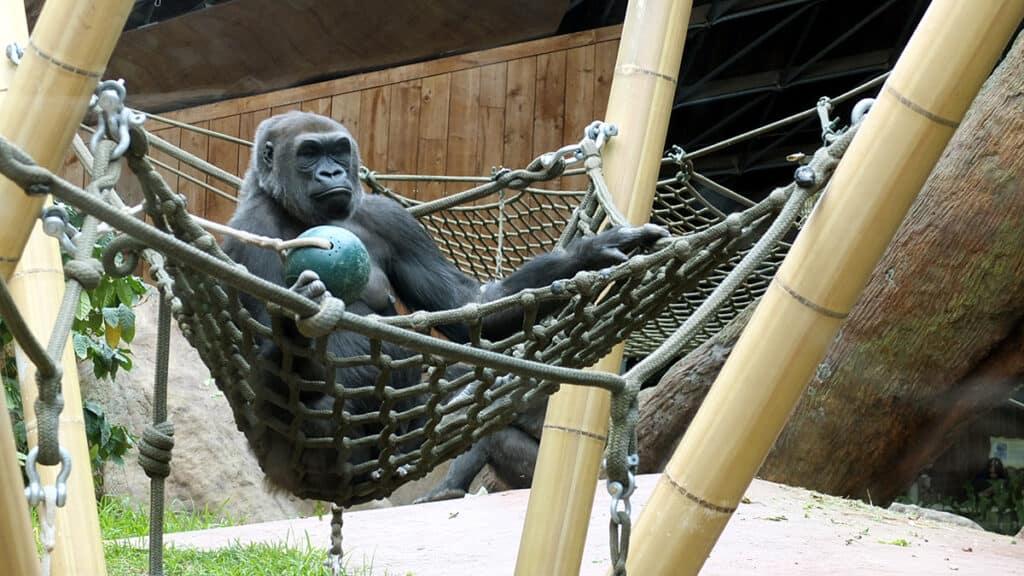 toronto zoo western lowland gorilla in scarborough